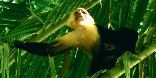 CR Monkey 1000x500