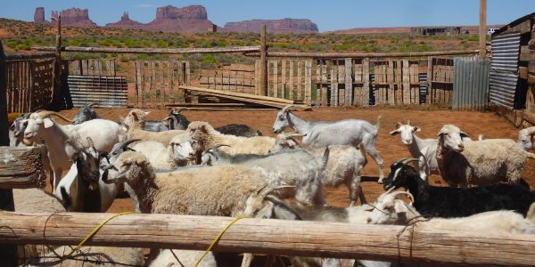 Learn about Navajo sheepherding on your summer vacation with Deer Hill teen summer adventures