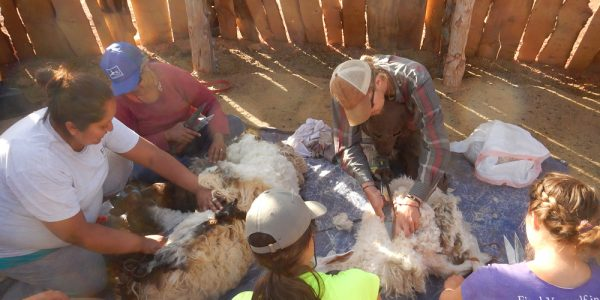 Sheep shearing with Navajo service site hosts, East Bay Waldorf School has a true cross-cultural experience